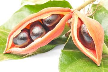 chestnut (sterculiamonosperma vent)