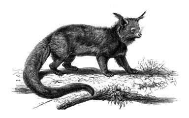 Bearcat - Binturong