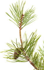 pine brach isolated on white