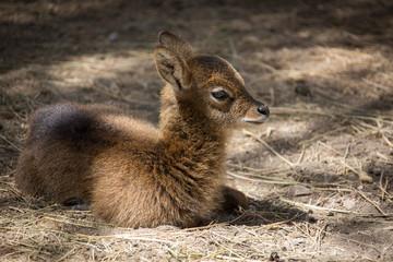 lying roe deer baby