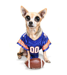 a cute chihuahua in a football uniform