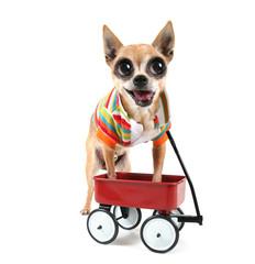 a chihuahua with a tiny wagon