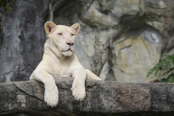 White leo