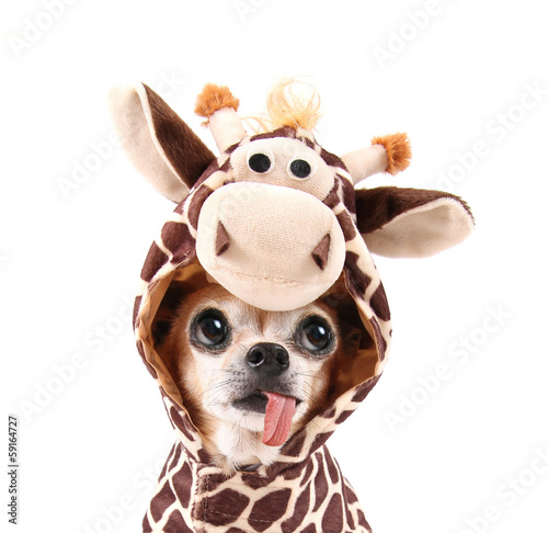 Fotobehang Giraffe a cute chihuahua in a costume