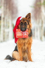Dog wearing christmas hat and holding a gift in his mouth