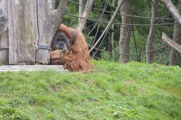 Expressive Orangutans at a Zoo
