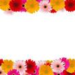 herbera flowers fame