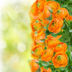 orange ranunculus flowers