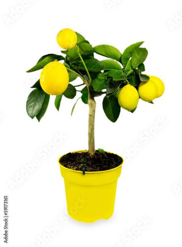 Lemon tree.Isolated.