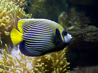 Fish-angel (emperor) and Actinia