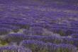 lavande, Lavendula x intermedia, Culture, provence, Apt, 84