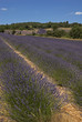 lavande, Lavendula x intermedia ,Culture, provence, Apt, 84