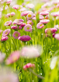Small spring flowers/White and pink blooming daisy flowers with
