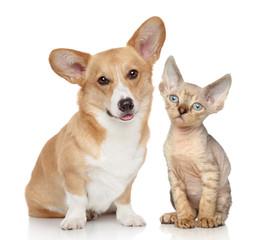 Portrait of a pembroke and devon rex kitten
