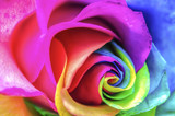 Rainbow Rose Macro - Fine Art prints