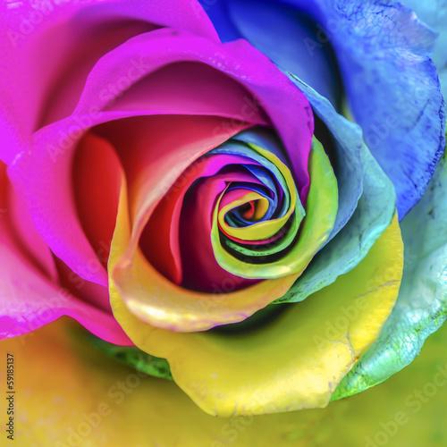 Foto op Plexiglas Roses Rainbow Rose