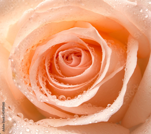 Close up of rose flower © sergio37_120