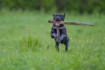 Dog retrieving a stick