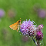European Skipper on Thistle