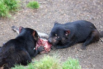 Tasmanischer Teufel (Sarcophilus harrisii)
