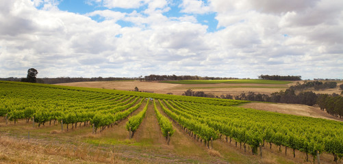 grapevine in Margaret River, Western Australia