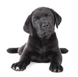 Labrador puppy on a white background in studio - 59198738