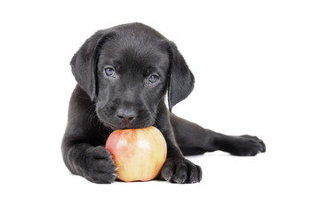 Labrador puppy with an apple on a white background in studio