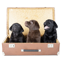 three labrador puppy in suitcase