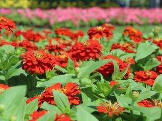 Zinnia Flower - Zinnia violacea
