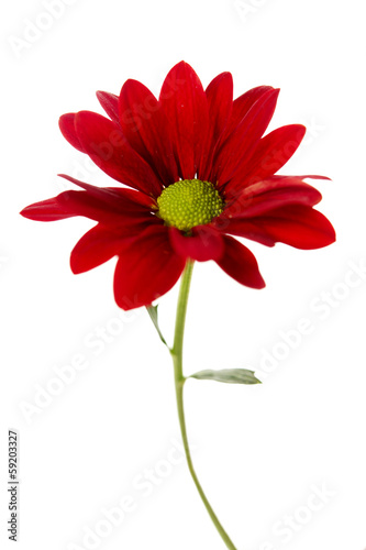 Red chrysanthemum isolated on white