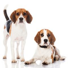 Zwei Beagles