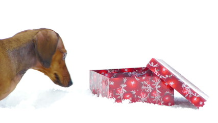 HD - Dog and Christmas gift_scene 01