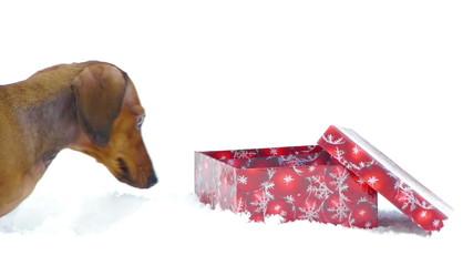 HD - Dog and Christmas gift_scene 01