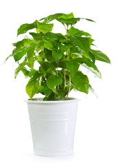 coffee plant in a pot