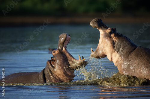 Fighting Hippo's