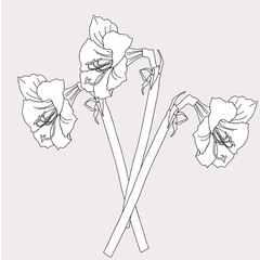 Amaryllis.Sketch Black and White.