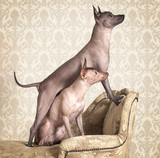 Xoloitzcuintle dogs on a antique couch