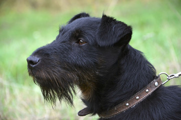 Black terrier is standing on the meadow