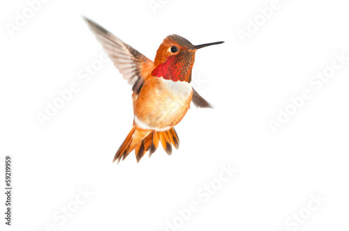 Rufous Hummingbird - Male. White background