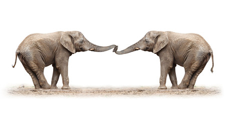 African elephants playing on a white background.