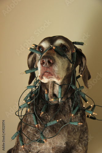 German Shorthaired Pointer Christmas edition