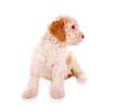 Lagotto Romagnolo Wasserhund – Welpe