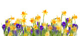 Glade daffodils and crocuses. Isolated