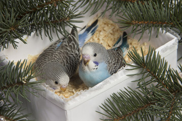 Christmas gift, two small bird