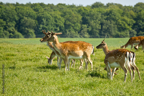 deer herd in Dyrehave park near Copenhagen