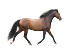 Brown horse trotting on white background