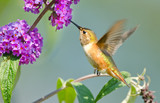 Rufous Hummingbird feeding on Butterfly Bush Flower