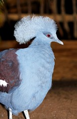Western Crowned Pigeon © Arena Photo UK