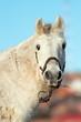 portrait of white beautiful horse