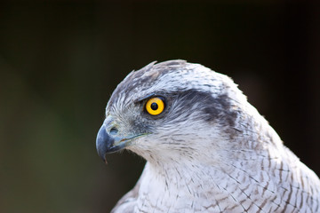 Close up Hawk goshawk
